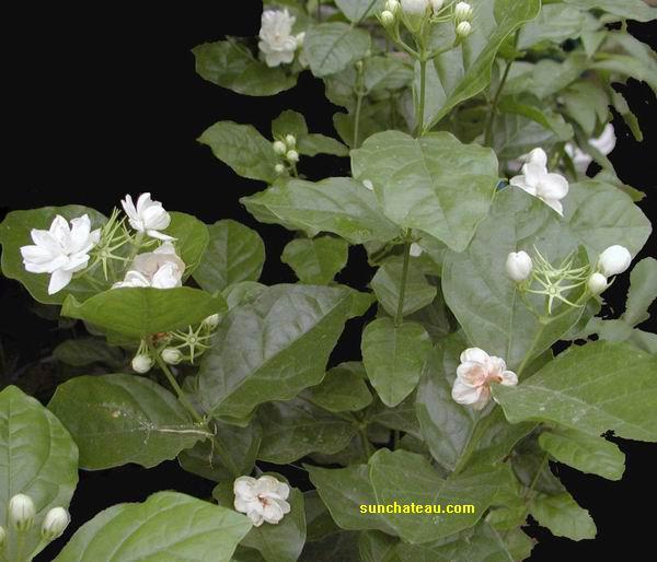 茉莉(木犀科) 玫瑰 菲律宾 Jasminum sambac 茉莉(木犀... 各国国花